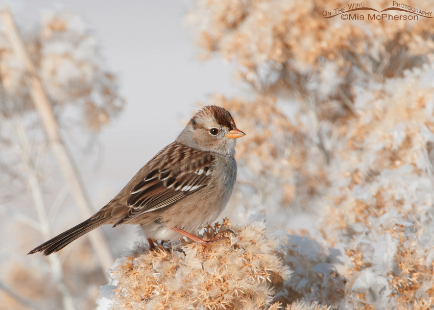 White-crowned Sparrow juvenile on a cold winter day