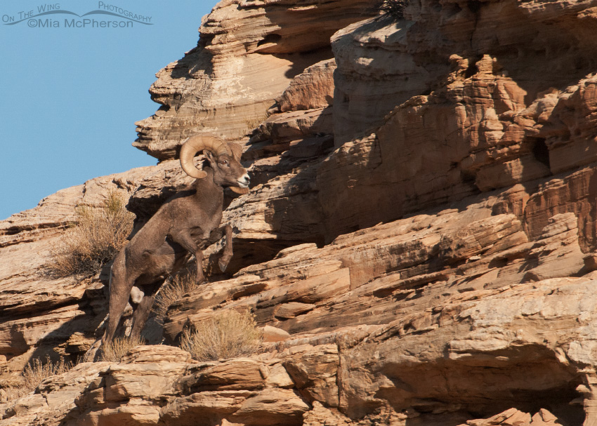 Bighorn Sheep ram at Dead Horse Point State Park