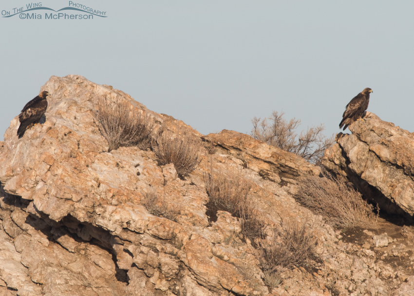 A pair of Golden Eagles on Lady Finger Point