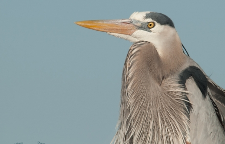 A Great Blue Heron up close
