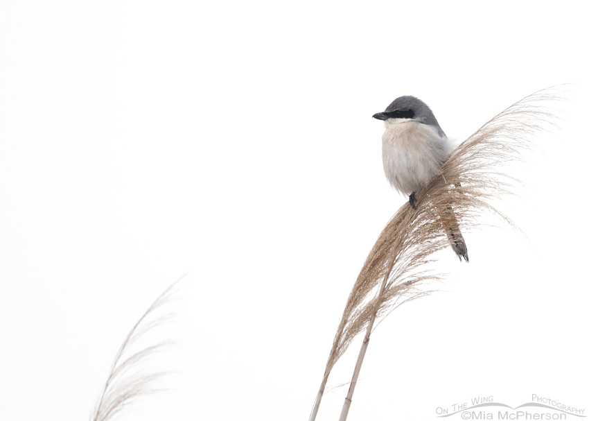 High Key and small in the frame Loggerhead Shrike