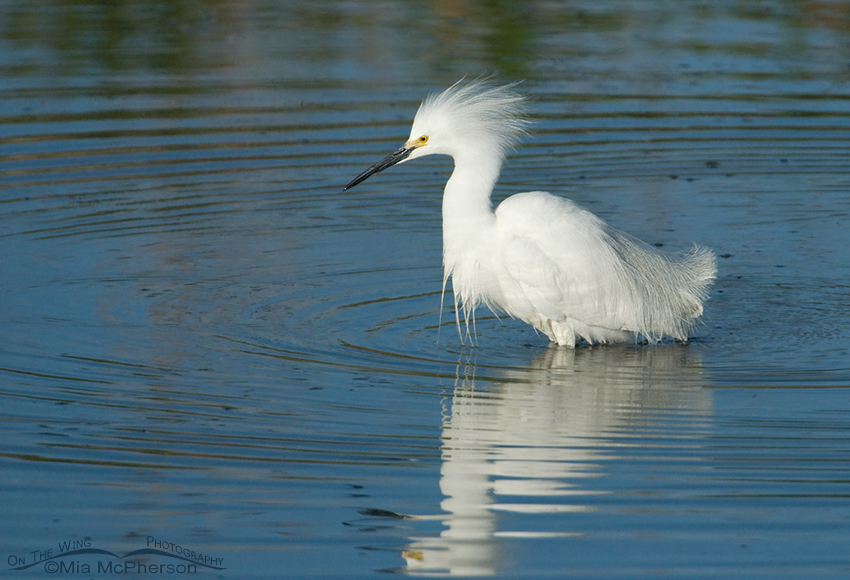Snowy Egret fishing in a small retention pond