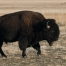 Big, dark Bison bull