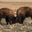 Young Bison butting heads