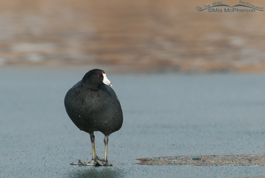 American Coot standing on thin ice