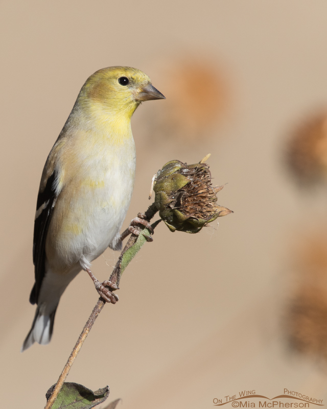 American Goldfinch perched on a sunflower stem