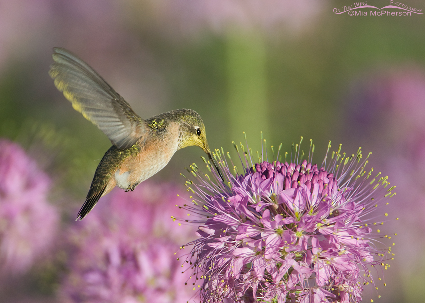 Calliope Hummingbird and Rocky Mountain Bee Plant