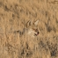 Injured Coyote resting in grasses