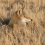 Coyote resting in the grasses