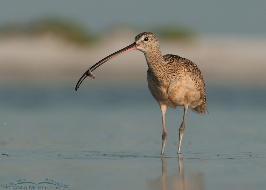 Long-billed Curlew and a Fiddler Crab