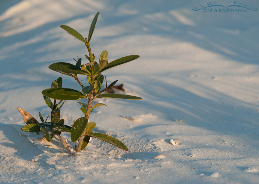 Young mangrove in early morning light