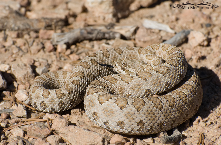 Midget Faded Rattlesnake