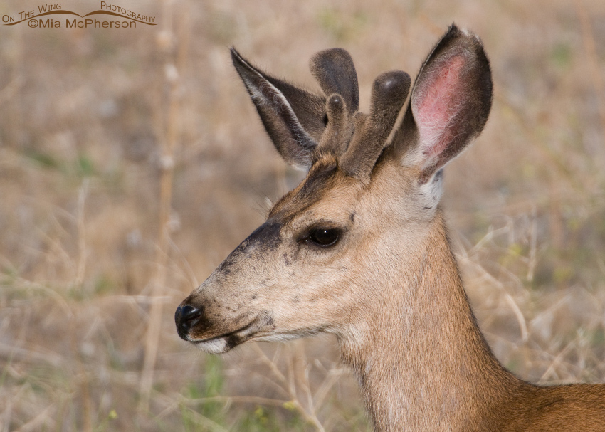 Side view of a Mule Deer buck in velvet