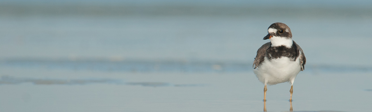 semipalmated-plover-background-mia-mcpherson-86831