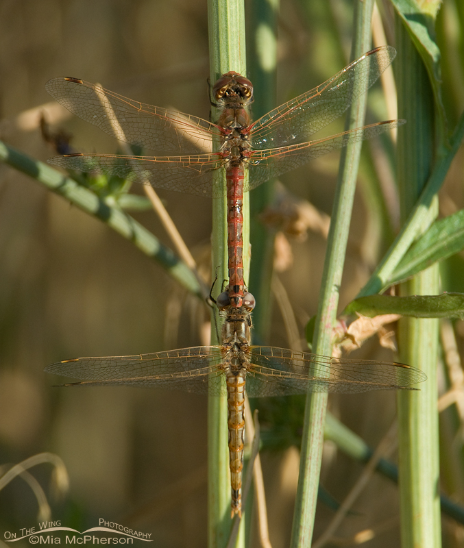 Variegated Meadowhawks mating