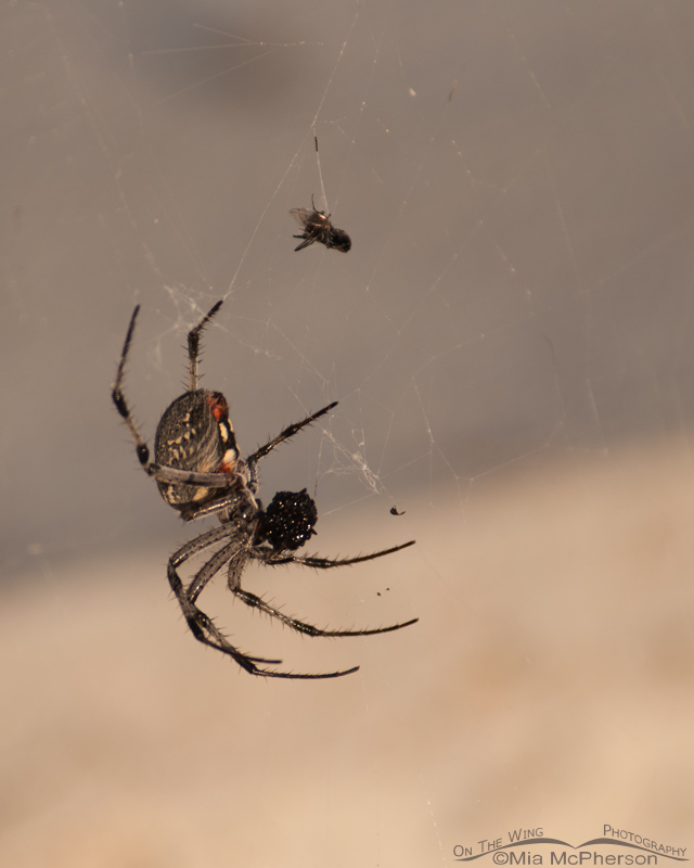 Neoscona oaxacensis or Western Spotted Orbweaver