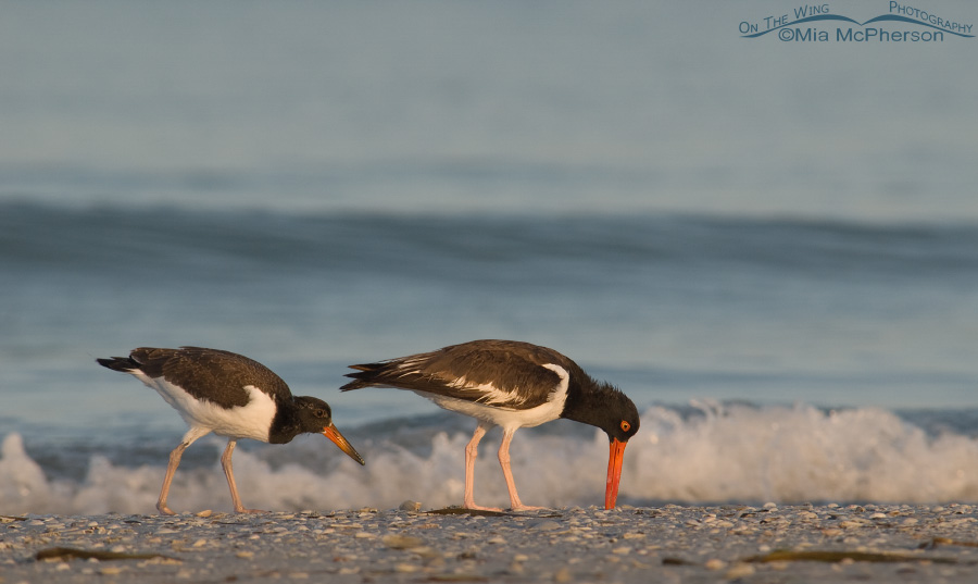 American Oystercatcher family