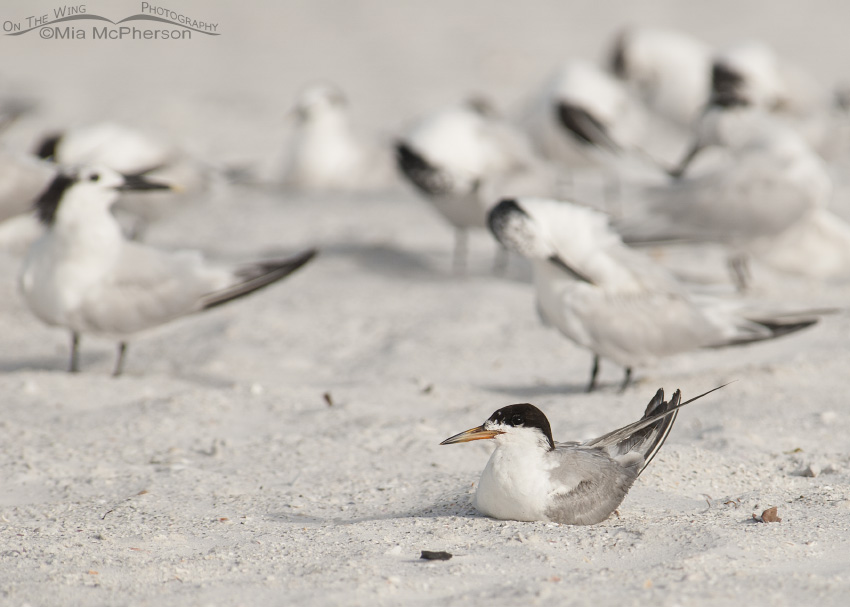 Common Tern and friends