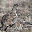 Greater Sage-Grouse on a high sagebrush steppe