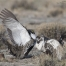 Two male Greater Sage-Grouse fighting on a lek