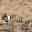 Male Greater Sage-Grouse displaying on the lek