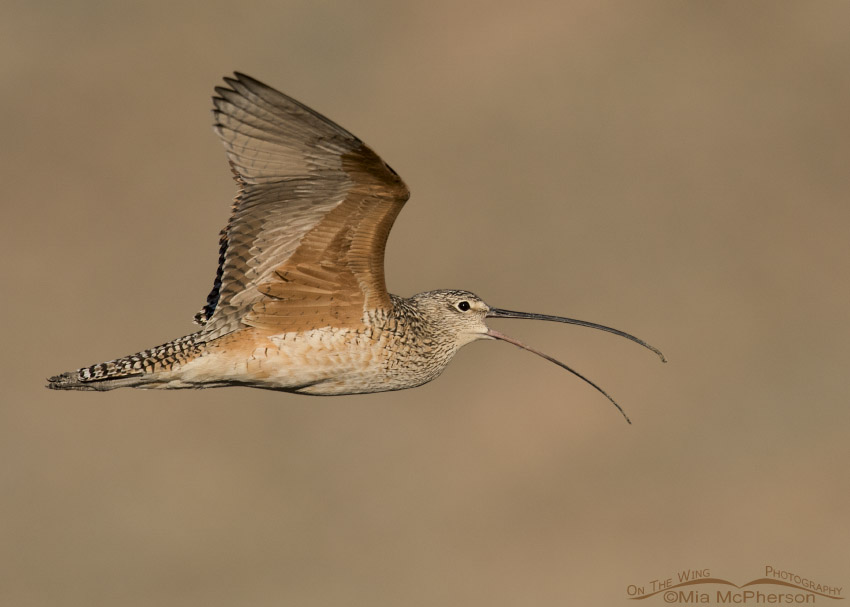 A Long-billed Curlew calling in flight