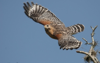 Red-shouldered Hawk at Myakka River State Park