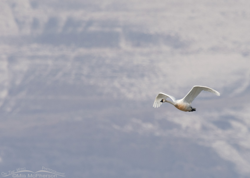 A lone Tundra Swan and the snowy Promontory Mountains