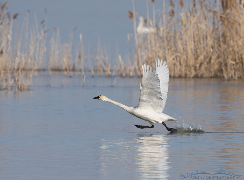 Tundra Swan lifting off
