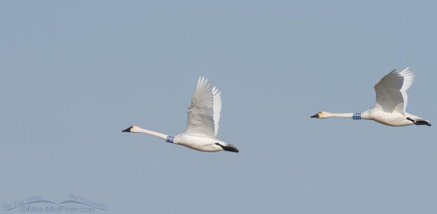 A pair of banded Tundra Swans