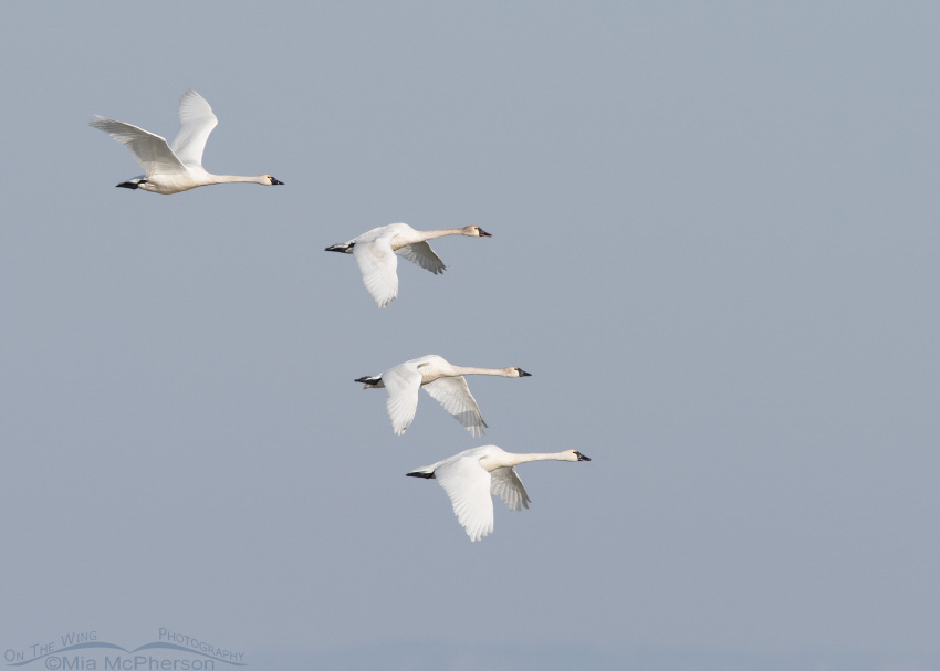 Tundra Swans in flight on a March morning