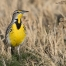 Spring time Meadowlark