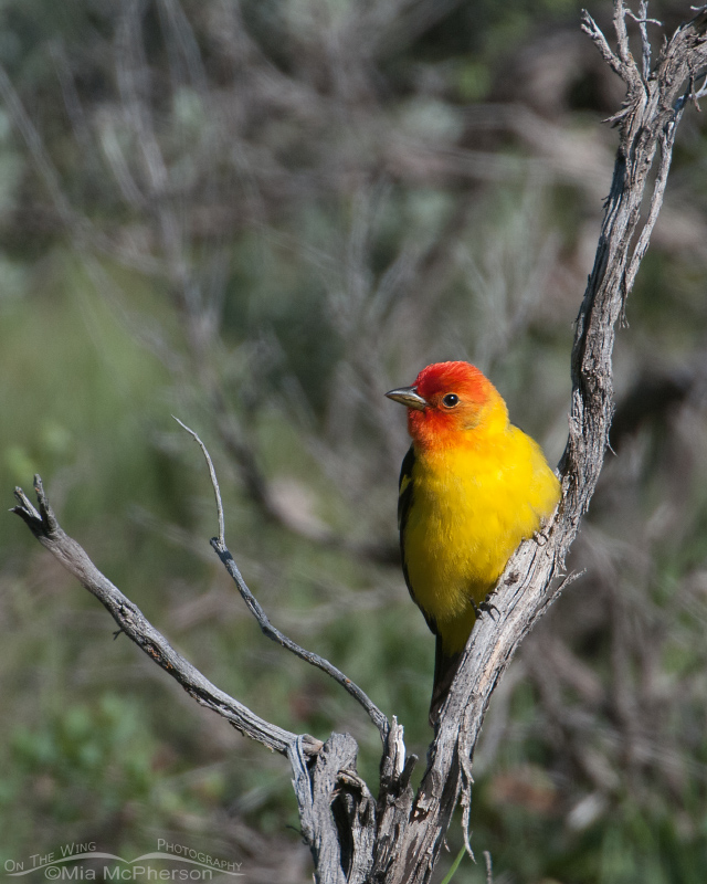 Western Tanager in the Targhee National Forest