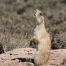 Calling White-tailed Prairie Dog