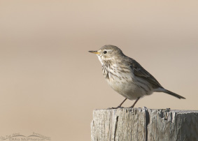 American Pipit Images