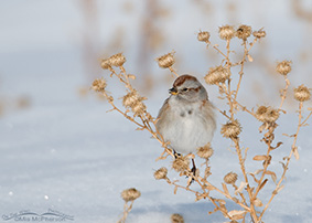 American Tree Sparrow Images