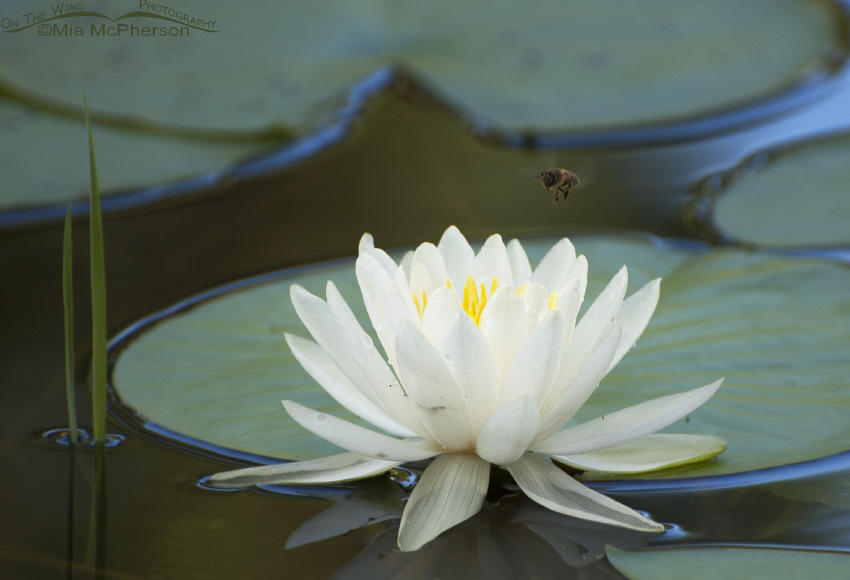 American White Waterlily and a Honey Bee