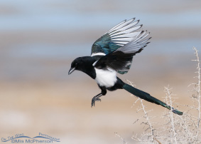 Black-billed Magpie Images