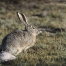 Black-tailed Jackrabbit in early morning light