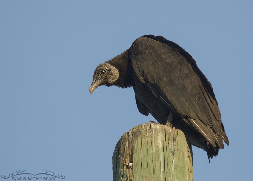 Mature Black Vulture on a pole
