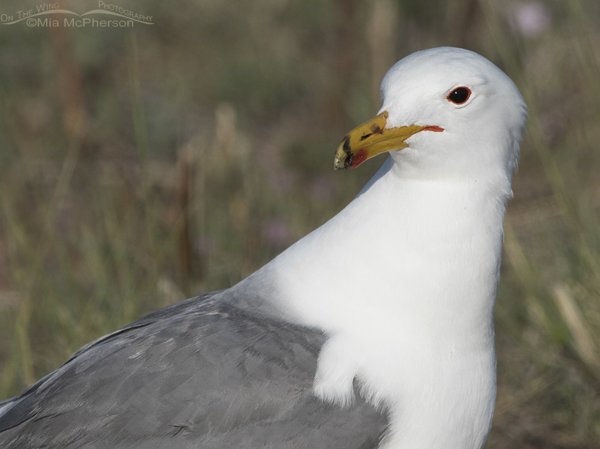 California Gull Portrait on Antelope Island
