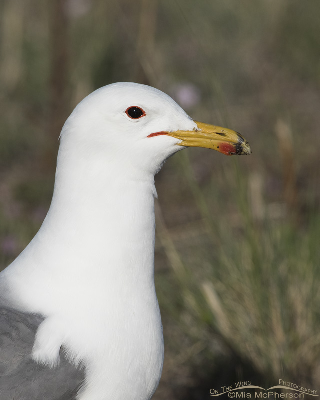 California Gull in breeding plumage