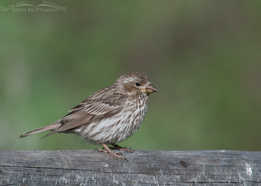 Female Cassin's Finch