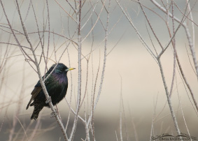 European Starling Images