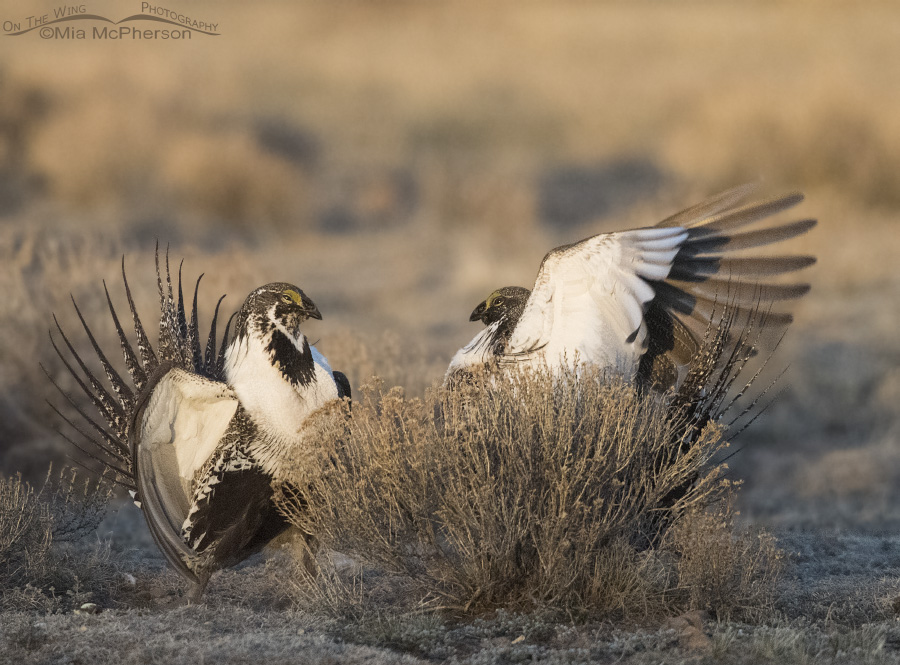 Two male Greater Sage-Grouse in a skirmish
