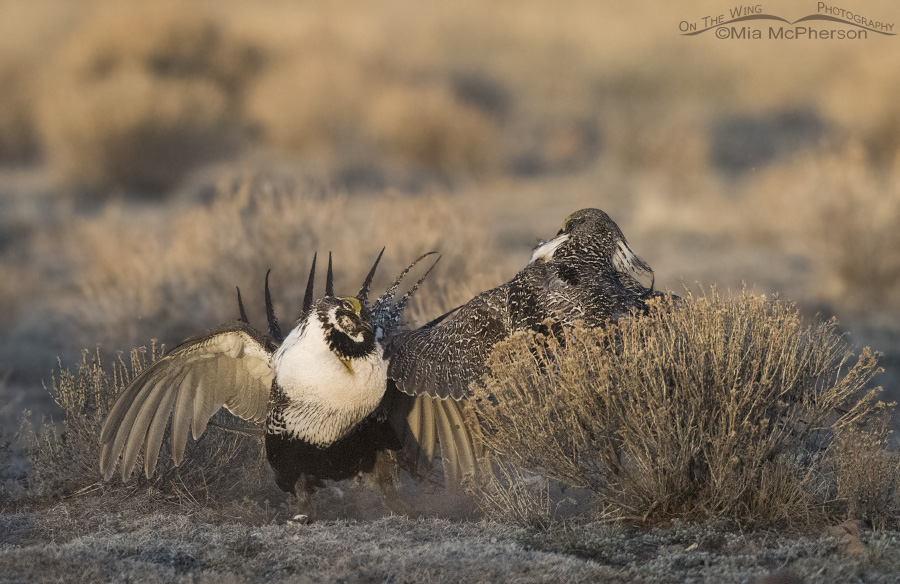 Two Greater Sage-Grouse males kicking up some dust