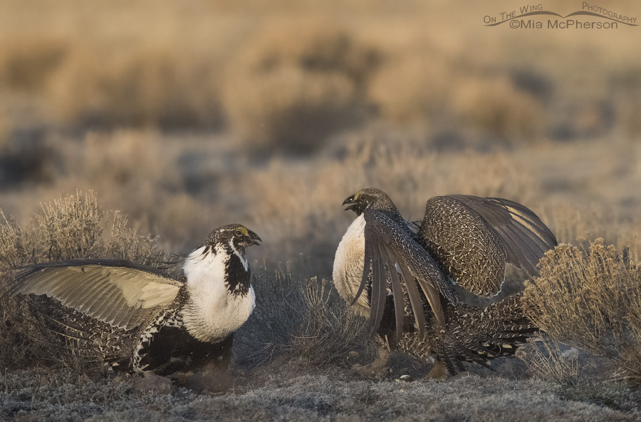 Face off on the Greater Sage-Grouse lek