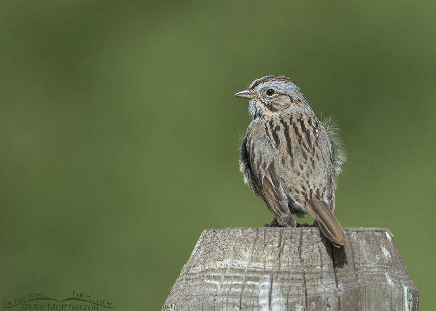 A Lincoln's Sparrow in Montana