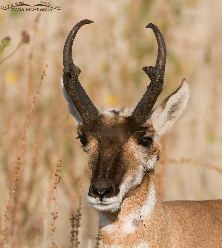 Pronghorn buck with a pretty rack