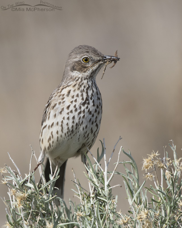 A Sage Thrasher with nesting materials